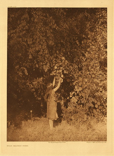 portfolio 14 plate no. 480 Wild grapes – Pomo