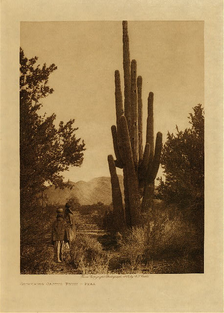 volume 2  facing: page  4 Gathering cactus fruit - Pima