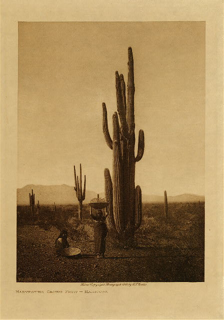 volume 2  facing: page  88 Harvesting cactus fruit - Maricopa