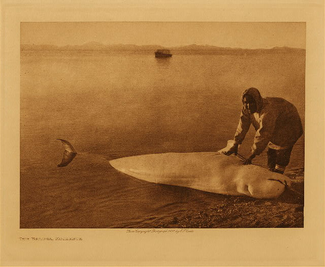 volume 20  facing: page  168 The beluga, Kotzebue
