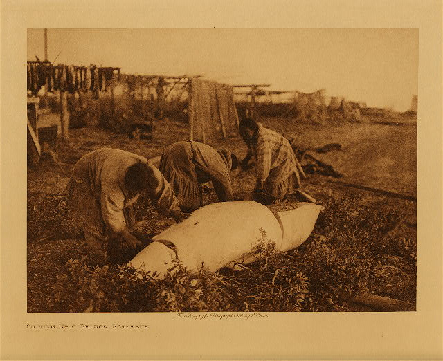 volume 20  facing: page  172 Cutting up a beluga, Kotzebue