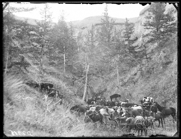 Harvey Andrews and family herding their livestock in Cedar Canyon on Victoria Creek, near New Helena, Nebraska.