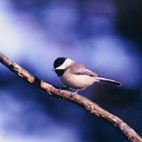 Photo of chickadee, 1st place in fauna category, 1999