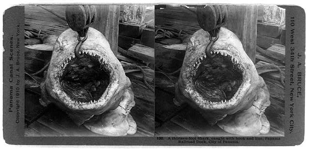 Sharks - Panama - 1910.  Library of Congress.