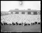 W.A. Smith, thoroughbred sheep, Gibbon, Buffalo County, Nebraska