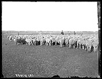 Peter Wink sheep ranch near  Kearney, Nebraska.